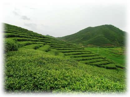 fuding white tea planation